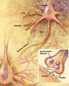 werking van de synapsen